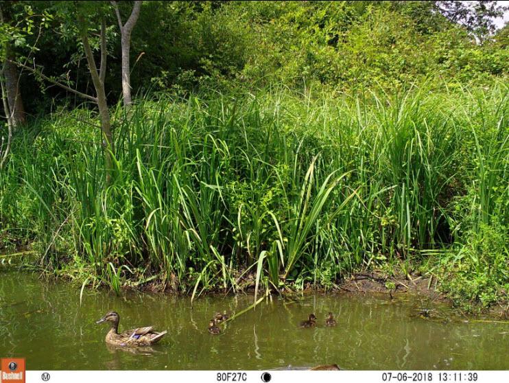 Canards photographiés avec la caméra Bushnell BN119837