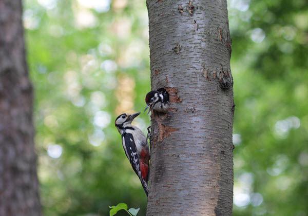 Un pic nourrissant son oisillon dans un arbre