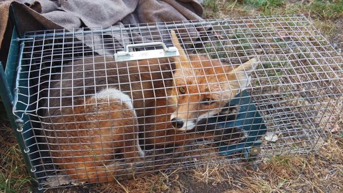Un renard capturé dans un piège